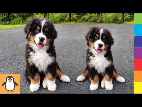 Cutest Bernese Puppies 🔥 Funny and Cute Bernese Mountain Dogs Videos Compilation