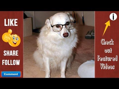 American Eskimo Dog Cute Funny videos_Funniest dog moments_Dog Videos