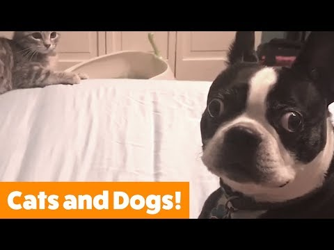 Cutest Dogs and Cats Playing   Funny Pet Videos