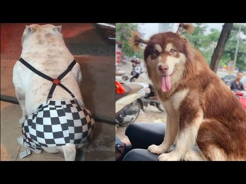 Cute And Funny Dog Videos – Cute Dog Costumes For Big Dogs | Cute Dogs And Cats
