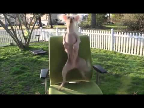 Funny Dancing Dogs Compilation – Try Not To Laugh!