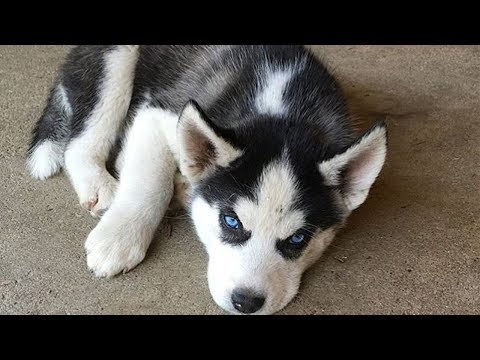 Baby Dogs Cute And Funny Dog Videos – Cutest Puppies In The World 2019 | Puppies TV