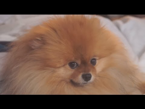 Funniest And Cutest Pomeranian Videos Compilation – Funny Dog Videos