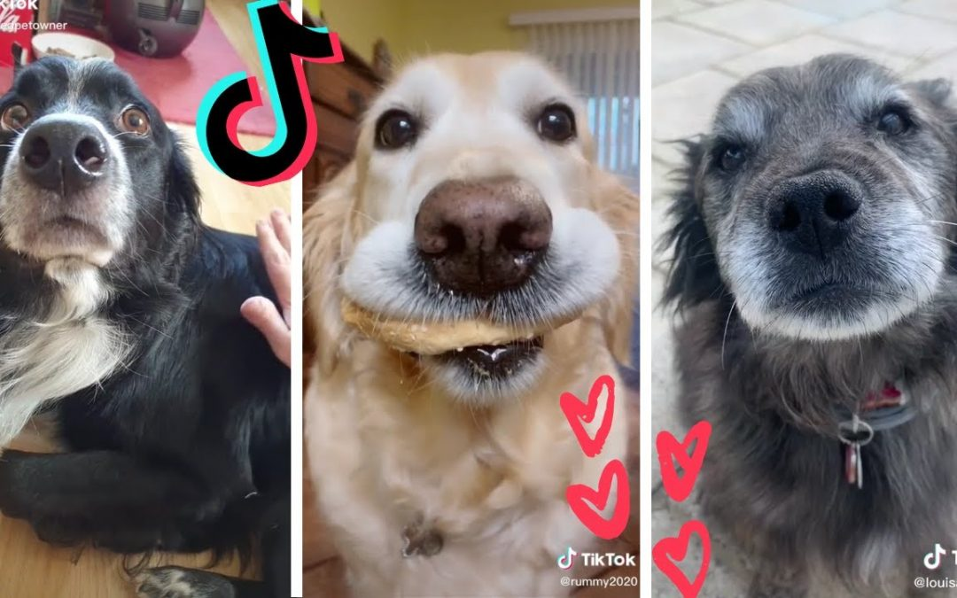 Funny Dogs of TIK TOK ~ Cutest Puppies ~ Tik Tok Compilation