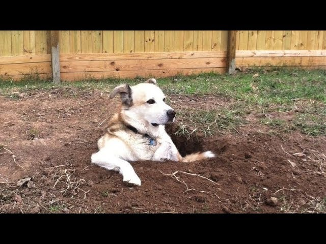 The LONGER YOU WATCH, the FUNNIER IT GETS! – Funny DOG VIDEOS