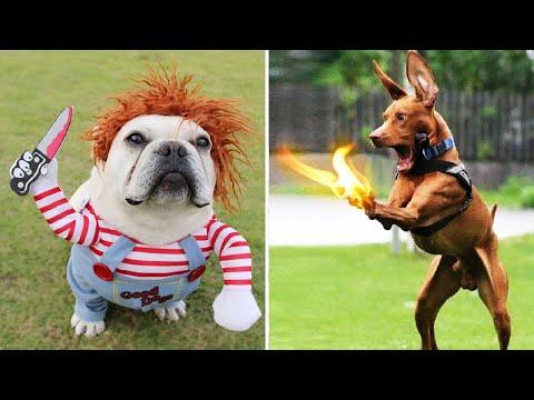 Super Funny Dog Videos #3 | Chihuahua TV