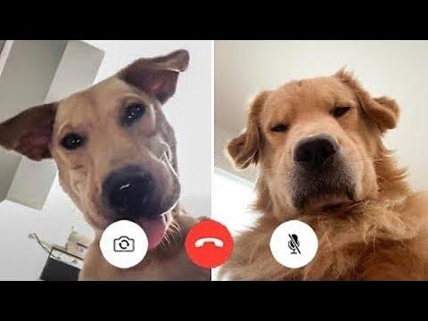 Super Funny Dog Videos #16 | Chihuahua TV
