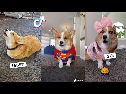 Hammy & Olivia Corgi New Funny TikTok Videos 2021   Best Hammy and Olivia New Compilation