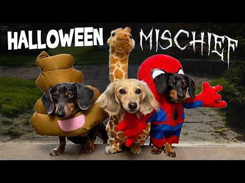 HALLOWEEN MISCHIEF – Cute & Funny Wiener Dogs Go Trick or Treating!